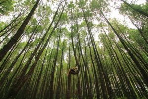 tempat wisata di semarang - Hutan pinus kayon
